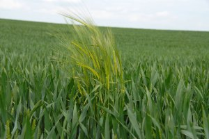 Wheat or Weeds?