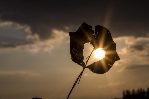 sun heart leaf